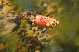 Baby koi fish