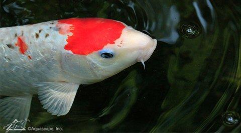 Koi fish closeup