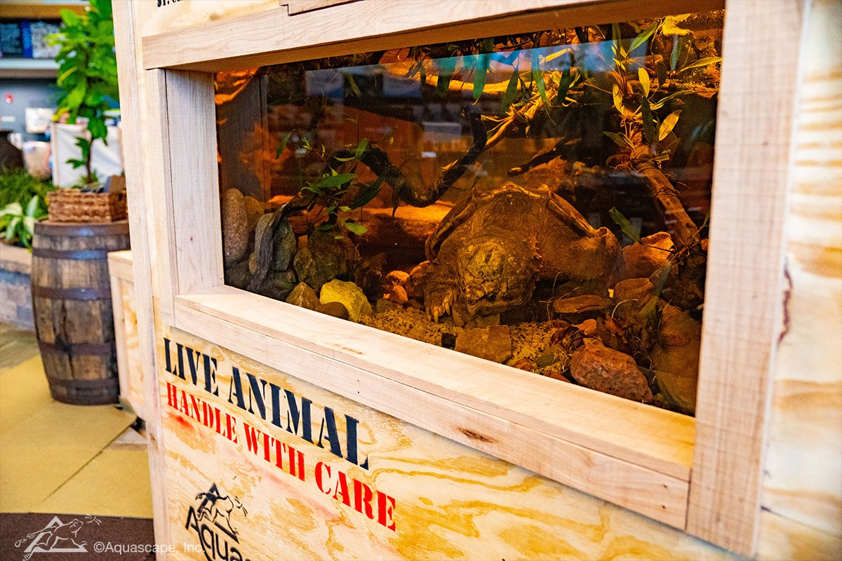 Woody the Alligator Snapping Turtle